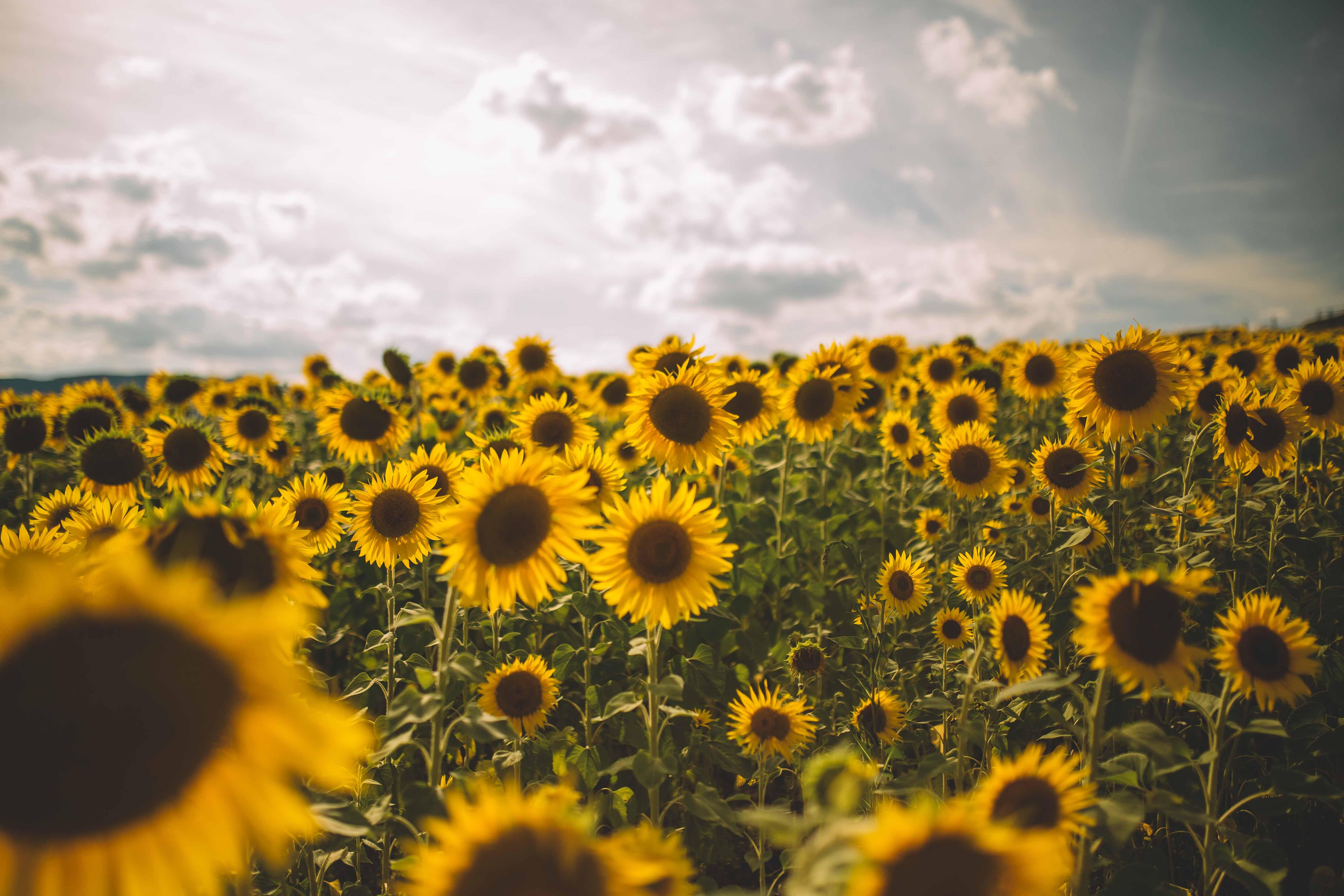 sunflower field love natinstablog. Black Bedroom Furniture Sets. Home Design Ideas